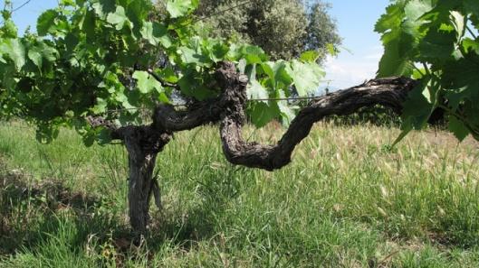 vigne di malvasia puntinata